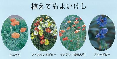 ケシ の 花 自生
